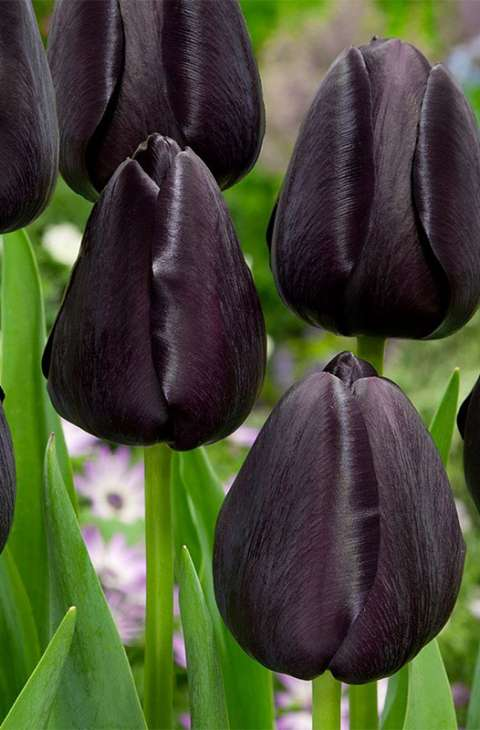 Lala Tulip Queen of Night
