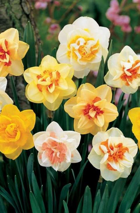 Narcis dupli Narcissus Double Mix