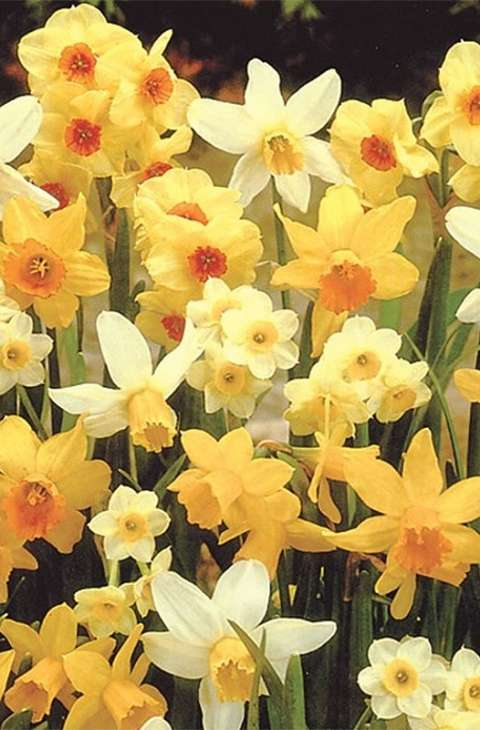 Narcis- Narcissus Mix